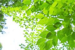Światło słoneczne penetruje liście zdjęcie stock