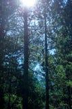 Światło słoneczne promienieje przez jedlinowych drzew w lesie Zdjęcie Stock