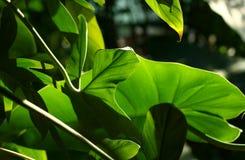 Światło słoneczne przerwy przez ulistnienia Fotografia Stock