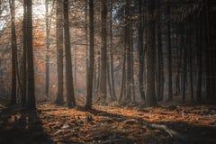 Światło słoneczne przez ciemnego lasu w jesieni obrazy stock