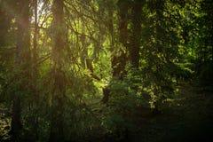 Światło słoneczne przez drzew Obraz Stock