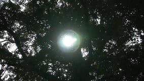 Światło słoneczne przez gałąź ginkgo drzewny bagażnik opuszcza zbiory wideo