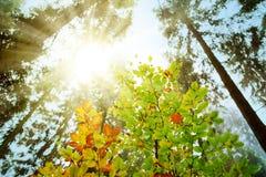 Światło słoneczne przez jesieni treetops z kolorowymi liśćmi zdjęcie royalty free