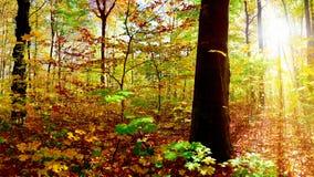 Światło słoneczne przez lasowych drzew obrazy royalty free