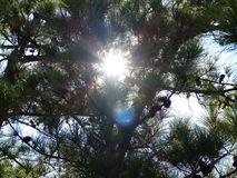 Światło słoneczne Przez sosen Zdjęcie Royalty Free