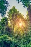 Światło słoneczne przez tropikalnego głębokiego lasowego drzewa Obraz Royalty Free