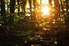 Światło słoneczne przy zmierzchem przez zielonych drzew w lato lesie, tło natury świeżość zdjęcie stock