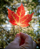 światło słoneczne ręczny liść klonu światło słoneczne Zdjęcia Stock