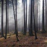 Światło słoneczne w jesień mglistym lesie Zdjęcie Royalty Free