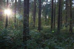 Światło słoneczne w Sosnowych drewnach zdjęcia stock