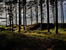 Światło słoneczne w Tentsmuir lesie fotografia stock
