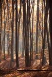 Światło słoneczne w zielonym lesie, czerwony las Obraz Royalty Free