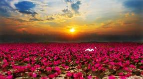 Światło słoneczne wzrasta lotosowego kwiatu Fotografia Royalty Free