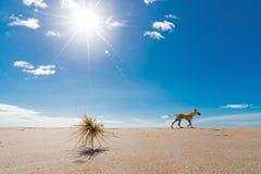 Światło słoneczne z spinifex i psem Fotografia Royalty Free