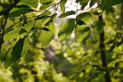Światło słoneczne zieleni liście las na sposobie Bucina widok przy początkiem jesień w zachodniej cyganerii Zdjęcie Royalty Free