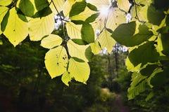 Światło słoneczne zieleni liście las na sposobie Bucina widok przy początkiem jesień w zachodniej cyganerii Obraz Royalty Free