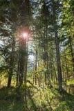 Światło w lesie z tylnym obiektywem i światłem migocze fotografia royalty free