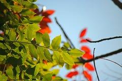 ŚWIATŁO ZA zieleń liśćmi PRZECIW niebieskiemu niebu Zdjęcie Stock