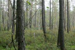 Świateł słonecznych lasowi drzewa Pokojowa plenerowa scena - dzika drewno natura Słońce przez zielonej lasowej natury Pokojowa pl Zdjęcie Royalty Free
