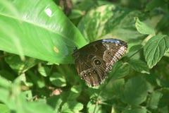 Światełko Błękitny seans w Zamkniętych skrzydłach Błękitny Morpho fotografia stock