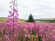 Światopogląd od wzgórza pełno piękni różowi kwiaty obrazy stock
