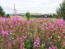 Światopogląd od wzgórza pełno piękni różowi kwiaty zdjęcie royalty free