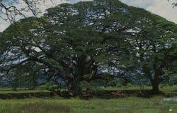 Światowy duży Benjamin Ficus; Ogród Botaniczny; Kolombo; Sri Lan zdjęcie stock