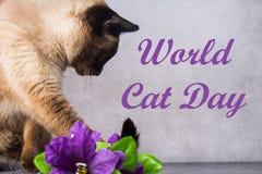 Światowy kota dzień 8 Sierpień dorosły Syjamski kot obraz royalty free