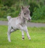 Światowy ` s mały koń Malutki źrebię mierzy właśnie 31 cm wysokiego Fotografia Royalty Free