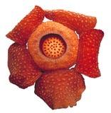 Światu wielki kwiat, Rafflesia tuanmudae, Gunung Gading park narodowy, Sarawak, Malezja Obraz Royalty Free