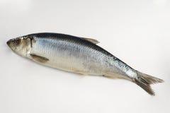 Świeża śledź ryba Zdjęcie Royalty Free