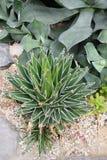 Świeża agawa Wiktoria Fotografia Stock