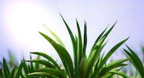 świeża aloes roślina fotografia royalty free