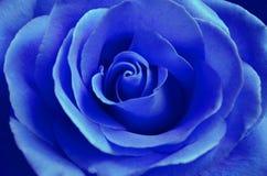 Świeża błękit róża z otwartym płatka zakończeniem Zdjęcie Stock