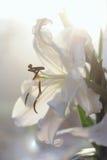 Świeża biała leluja w ogródzie w miękkim świetle Obrazy Stock