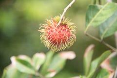 Świeża bliźniarki owoc na drzewie w ogródzie, kamphaengphet fotografia royalty free