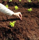 świeża cebulkowej rośliny ziemia Obraz Royalty Free