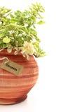 Świeża cytronelowa roślina obrazy stock