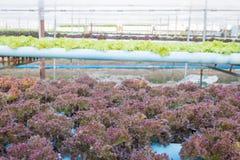 Świeża czerwieni i zieleni warzywa sałatka Obraz Stock