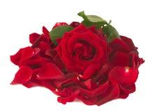 Świeża czerwieni róża z płatkami Zdjęcia Royalty Free
