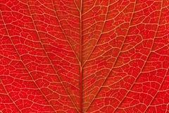 Świeża czerwona liść tekstura makro- w górę spadku zdjęcie royalty free