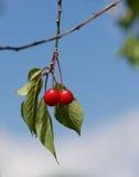 Świeża czerwona wiśnia na drzewie w ładnym niebieskiego nieba tle, lato owoc, czereśniowego drzewa czerepu fotografia fotografia stock