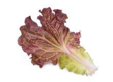 Świeża czerwonego korala sałatka lub czerwieni sałata odizolowywająca na bielu zdjęcia stock