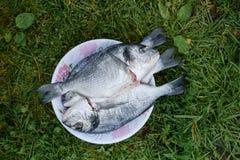 Świeża dorado ryba w talerzu Fotografia Royalty Free