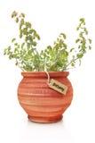 Świeża dyptam roślina zdjęcia stock