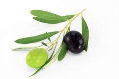 Świeża gałązka oliwna Obraz Royalty Free