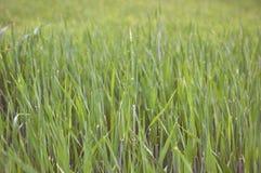 Świeża gazon trawa w ciemnawych promieniach powstający słońce fotografia royalty free