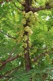 Świeża gwiazdowa agrestowa owoc Zdjęcia Royalty Free