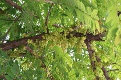 Świeża gwiazdowa agrestowa owoc Fotografia Stock