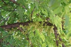 Świeża gwiazdowa agrestowa owoc Zdjęcie Stock